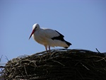 White Stork (Ciconia ciconia)